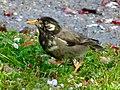White-cheeked starling in Ochiai Park (Kasugai).jpg