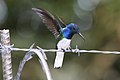 White-necked Jacobin (Florisuga mellivora) male (4505544162).jpg