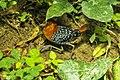 White-spotted Flufftail Kakum 2014-12-08 B002.jpg