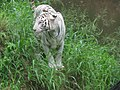 White Tiger in srearch for water.jpg