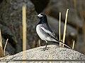 White Wagtail (Motacilla alba) (38061474146).jpg