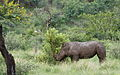 White rhinoceros or square-lipped rhinoceros, Ceratotherium simum. Note that in some of these photos there are a female with a calf, and a male that seems to have been challenging the calf. (17152251610).jpg