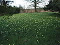 Wild daffodils in St. Mary's churchyard, Kempley - geograph.org.uk - 732349.jpg