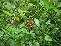 Wild grapes (869151005).jpg