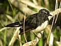 Willy Wagtail2.jpg