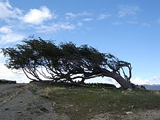Picture showing a windswept tree owing to the strong winds