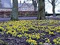 Winter aconites (Eranthis hyemalis), Embleton Hall, Longframlington - geograph.org.uk - 1740386.jpg