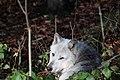 Wolf, Canis lupus 04.JPG