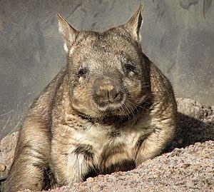 Lasiorhinus - Southern hairy-nosed wombat