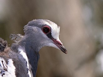 Wonga pigeon - Image: Wonga pigeon 444