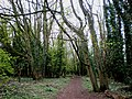 Woodland path at South Wold, near Brantingham - geograph.org.uk - 1383667.jpg