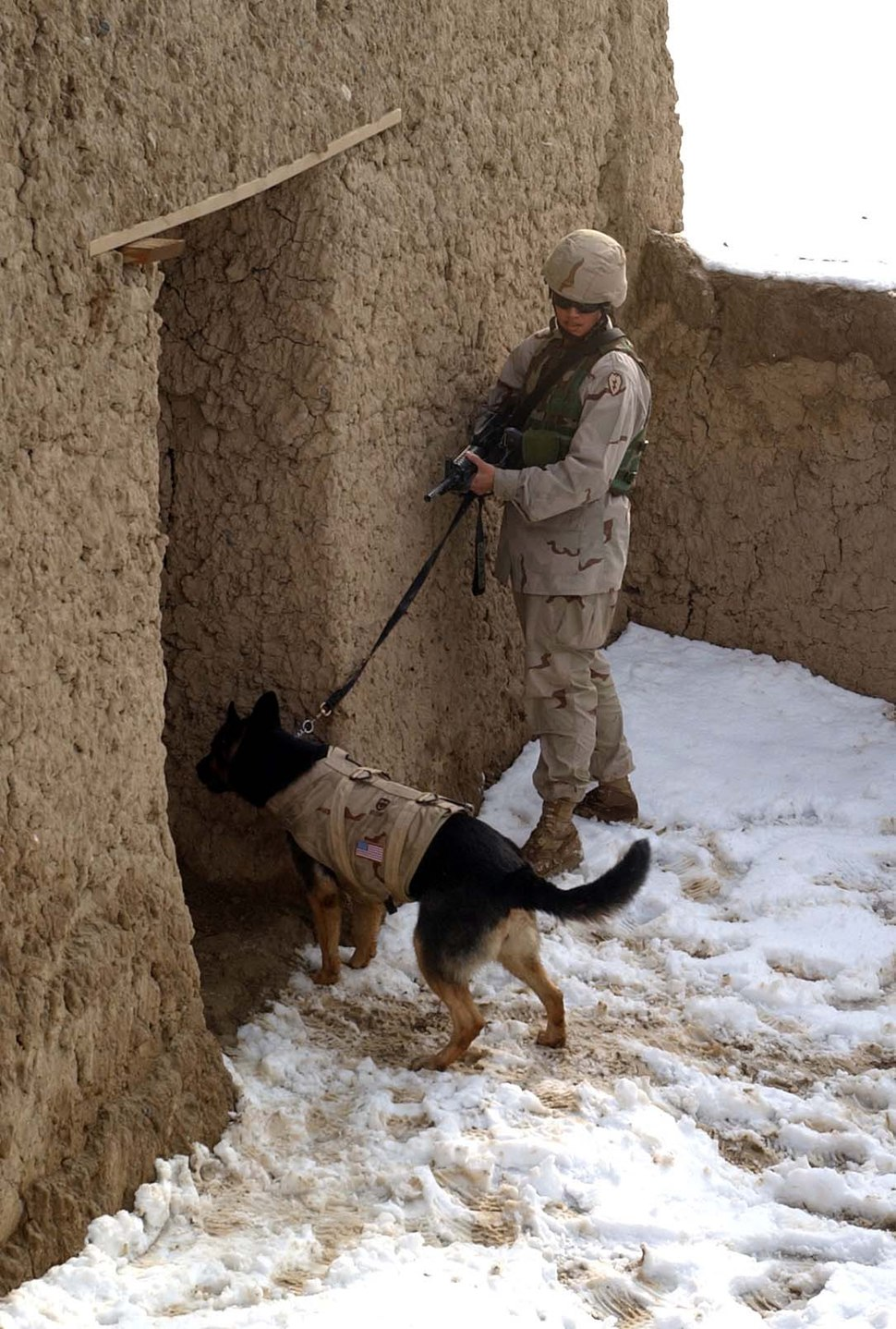 Working dog in Afghanistan, wearing a bulletproof vest, clears a building