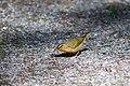 Worm-eating warbler (19860289802).jpg
