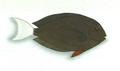 XRF-Acanthurus thompsoni.png