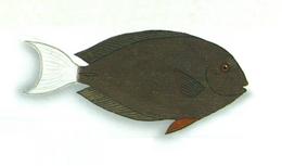 XRF-Acanthurus thompsoni