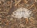 Xanthorhoe spadicearia - Red twin-spot carpet - Ларенция коричневая (40918346682).jpg