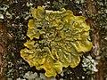 Xanthoria parietina 125106871.jpg