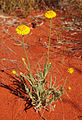 Xerochrysum bracteatum plant.jpg