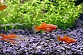 Xiphophorus hellerii few young fishes 01.jpg