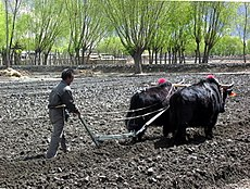 Yaks still provide the best way to plow fields in Tibet.jpg