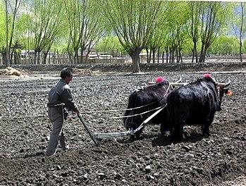 A Tibetan farmer ploughing a field; yaks still...