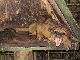 Kinkajou - In a Costa Rican animal shelter