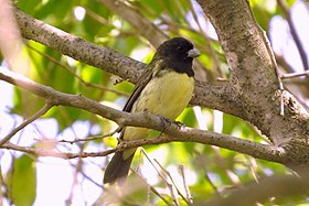 Yellow-bellied Seedeater (12682100663).jpg