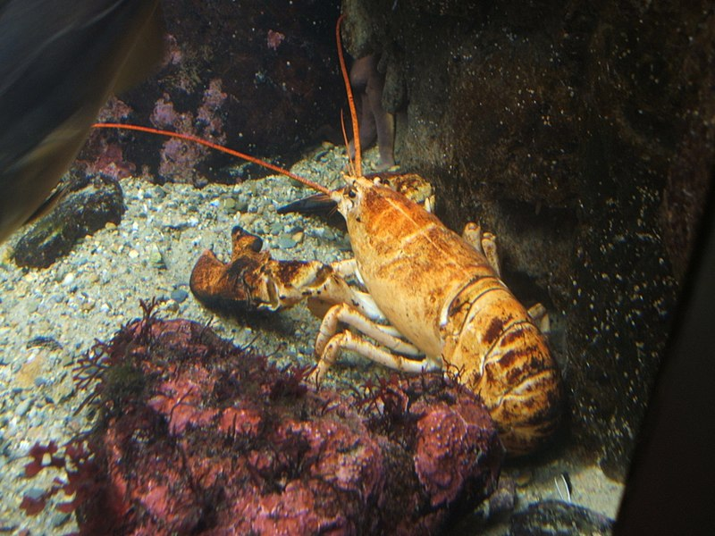 800px-Yellow-lobster.jpg