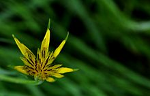 Yellow Flower Beautiful Goats Beard DSC 0289.JPG