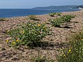 Yellow horned poppies, Slapton Sands - geograph.org.uk - 1361465.jpg