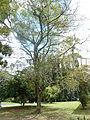 Yellow trumpet tree Jardin botanique de Peradeniya Kandy.JPG
