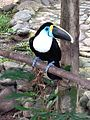Young White-throated Toucan.JPG