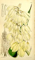 Yucca treculeana (as Yucca canaliculata) Bot. Mag. 86. t. 5201. 1860..jpg
