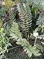 Zamia furfuracea - Botanischer Garten München-Nymphenburg - DSC08063.JPG