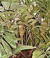 Zamia furfuracea LeavesCones BotGardBln0806a.jpg
