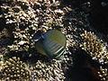 Zebrasoma desjardinii Red Sea.JPG