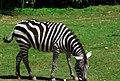 Zebre (3880592723).jpg