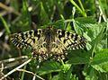 Zerynthia polyxena Uskršnji leptir.jpg