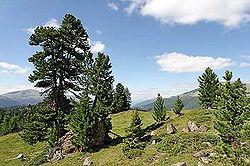 pin en montagne