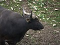 Zoo de Lunaret - Banteng - P1600313.jpg
