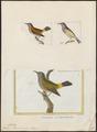 Zosterops chloronota - 1700-1880 - Print - Iconographia Zoologica - Special Collections University of Amsterdam - UBA01 IZ19200103.tif