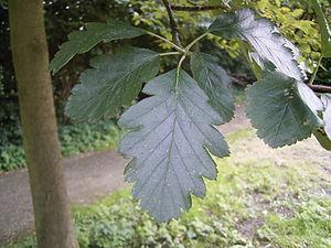 Sorbus × intermedia - Leaves