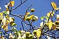 Zweige eines Wildapfelbaums im September.jpg