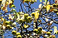 Zweige und Äste eines Wildapfelbaums im September.jpg