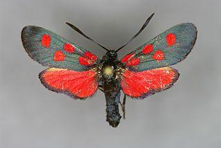 <i>Zygaena angelicae</i> Species of moth