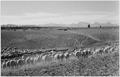 """Flock in Owens Valley, California, 1941."", 1941 - NARA - 519953.tif"