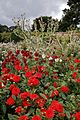 'Cactus' and 'Decorative' red Dahlias, and ornamental thistle in the Walled Garden of Goodnestone Park Kent England.jpg