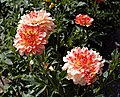 'Chrysanthemum' at Quex house garden Birchington Kent England 2.jpg