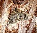 (1764) Common Marbled Carpet (Dysstroma truncata) (28547663902).jpg