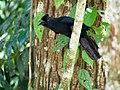 (Bornean) Black Magpie (14056954646).jpg